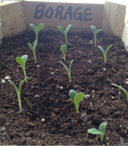 borage-sprouts